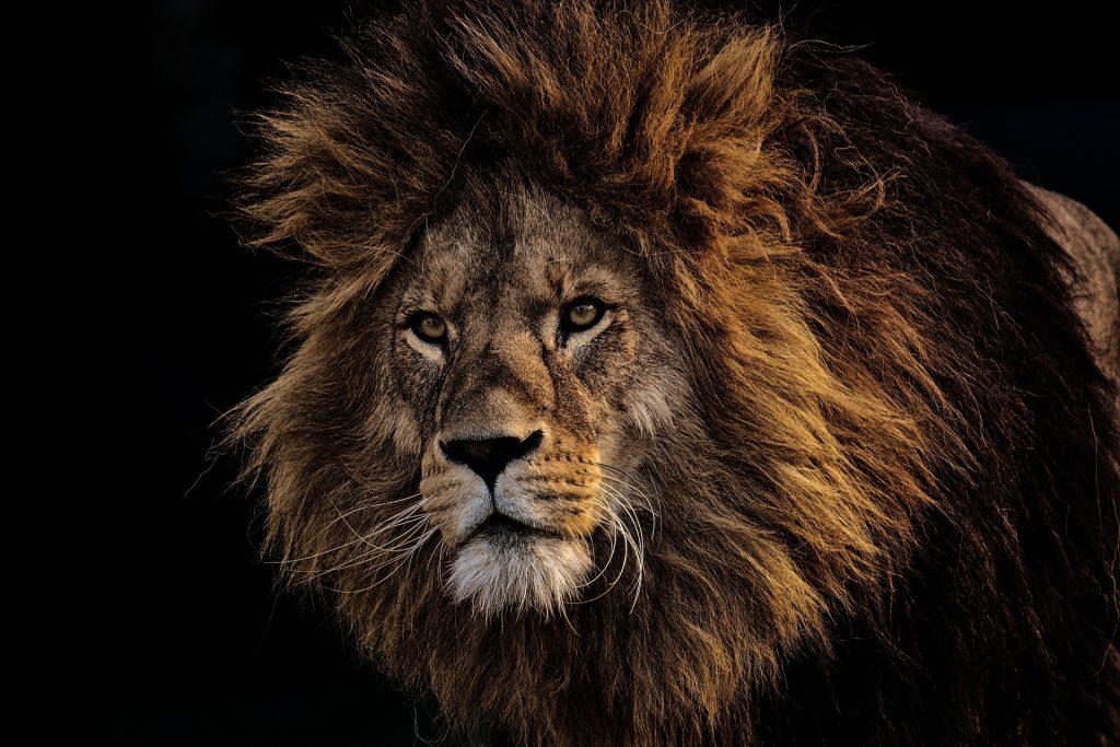 Kaffernbüffel gegen Löwen auf meinekleinetestseite.de